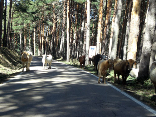 Puerto de Canencia. Vacas