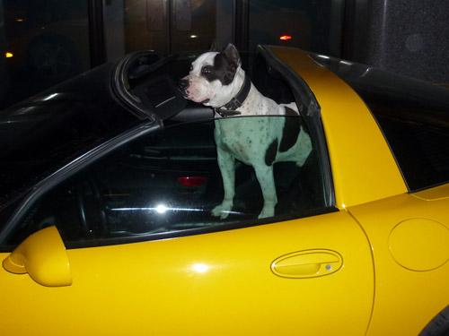 Corvette y perro