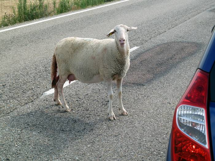 La oveja reclamaba ayuda. No necesitaba hablar.
