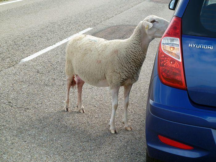 Hyundai i10. La oveja quiere entrar.