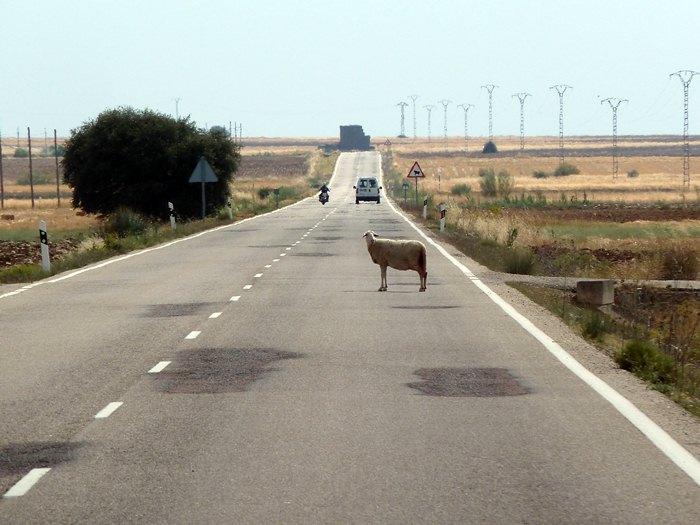 Oveja parada en mitad de la carretera. Mira hacia el fotógrafo.