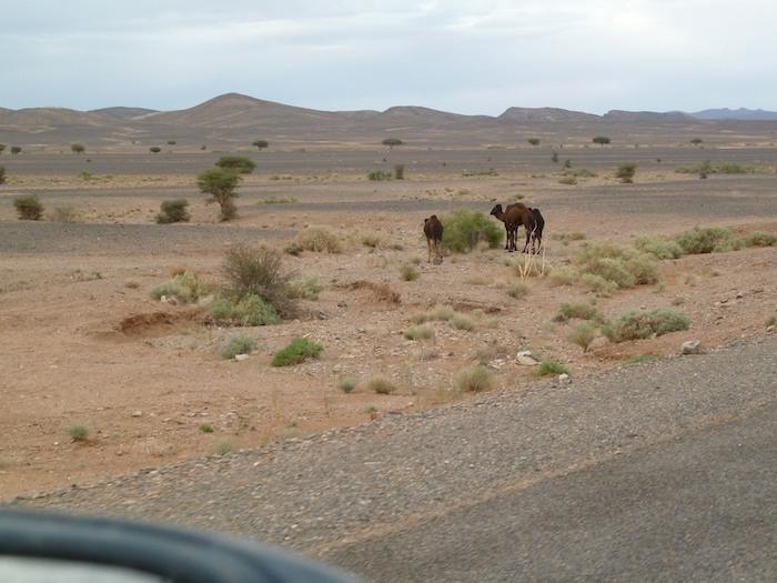 Son camellos o no lo son
