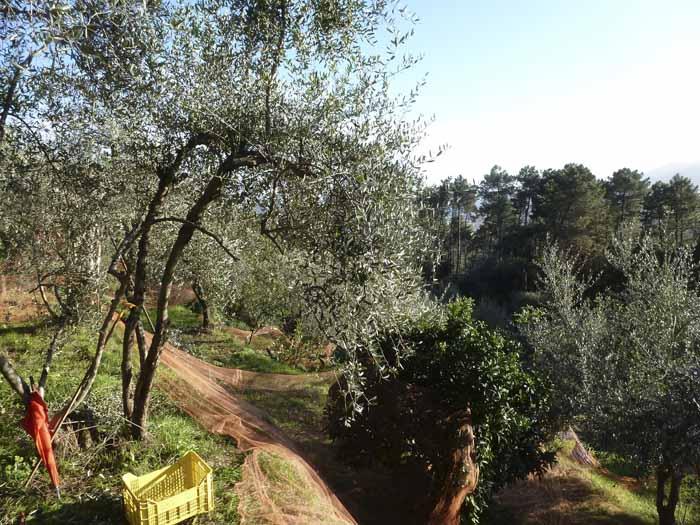 Paisaje olivar recogida
