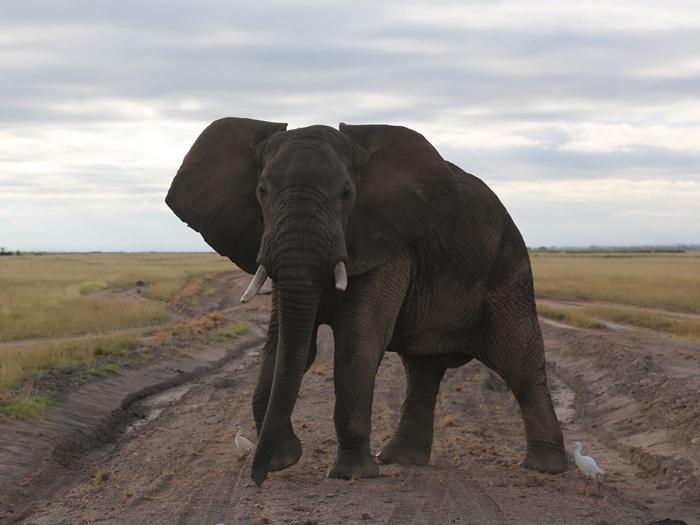 """Otro clásico de un viaje por África Centro-Oriental: elefante """"encampanado"""" en mitad de la carretera (que no es nada buena, por cierto); las dos pequeñas garcetas que le acompañan son equipo opcional."""