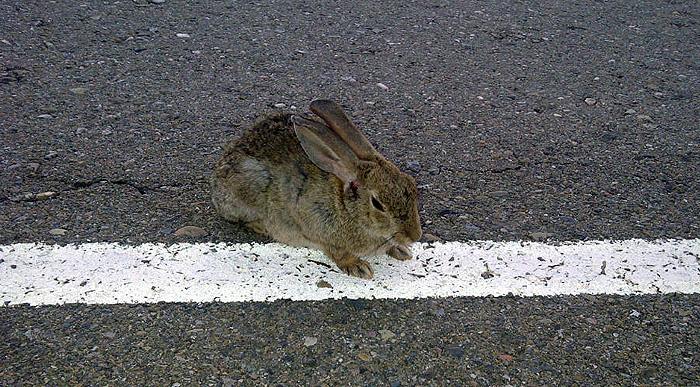 conejo-cabraeado