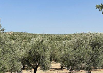 Destello plateado en campo de olivos