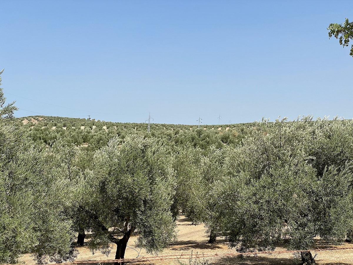 Jaén. Campo de Olivos en Puente del Obispo