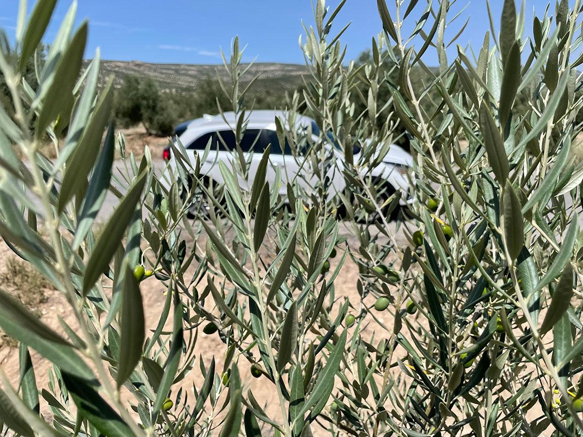 Jaén. Campos de olivos. Aceitunas en primer término. Kia e-Niro.