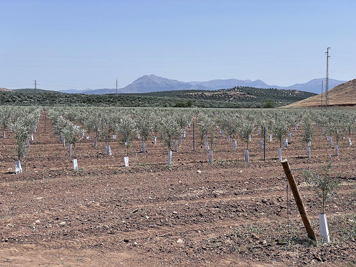 Campo de olivos jóvenes